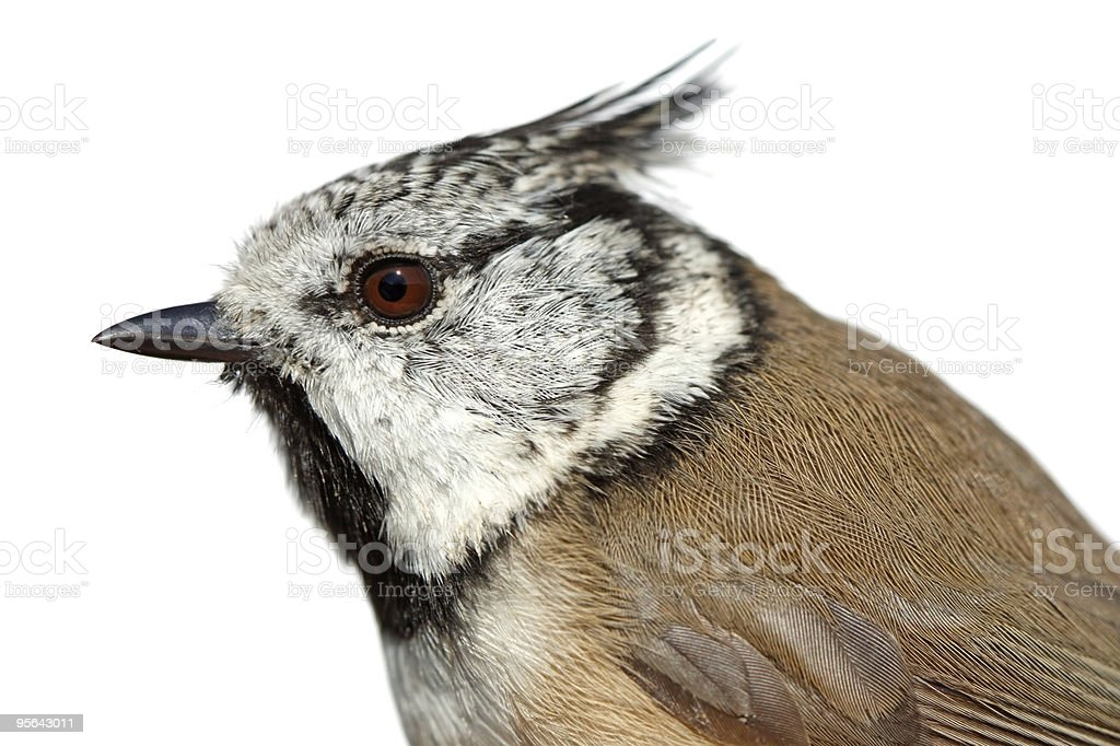 Birds of Europe and World - Crested Tit stock photo