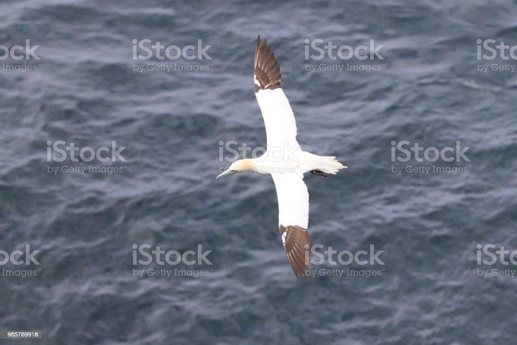 Birds of Faroe Islands - northern gannet - Royalty-free Animal Wildlife Stock Photo