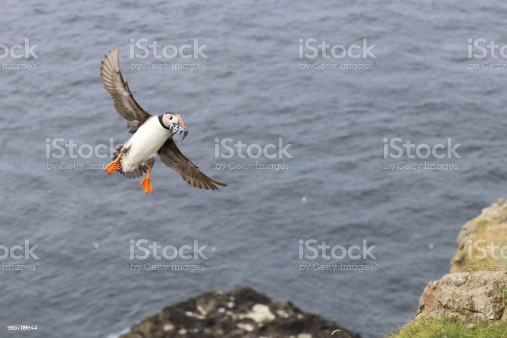 Vogels van Faeröer - pufins - Royalty-free Atlantische oceaan Stockfoto