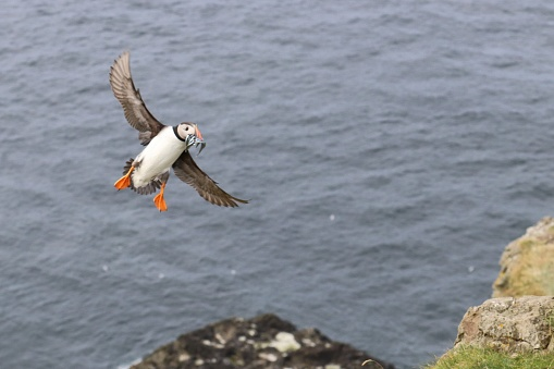 Vogels Van Faeröer Pufins Stockfoto en meer beelden van Atlantische oceaan