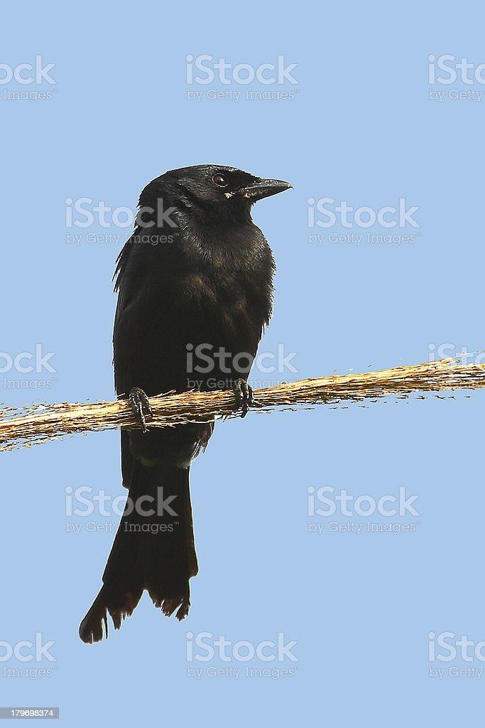 Birds of Nature, Black Drongo stock photo