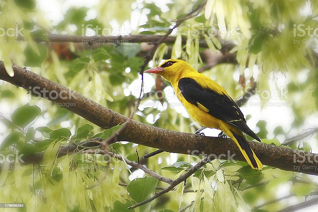 Birds of Nature, Golden Oriole stock photo