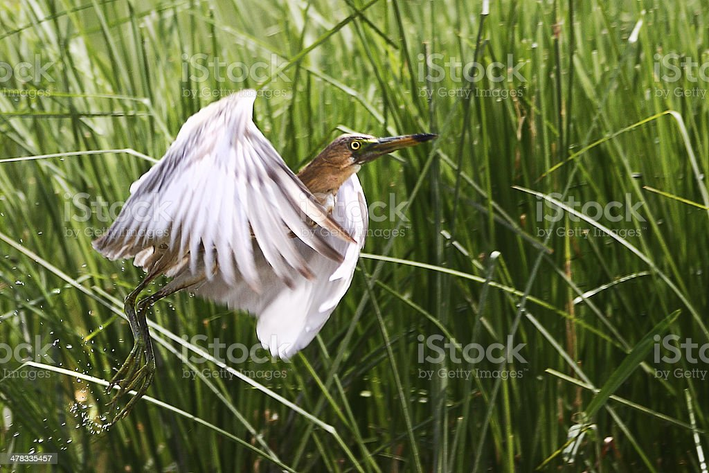 Birds of Nature, Pond Heron stock photo