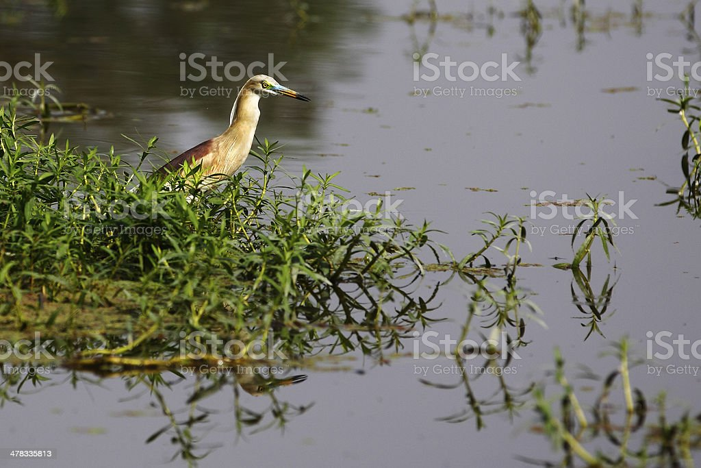 Birds of Nature, Pond Heron royalty-free stock photo