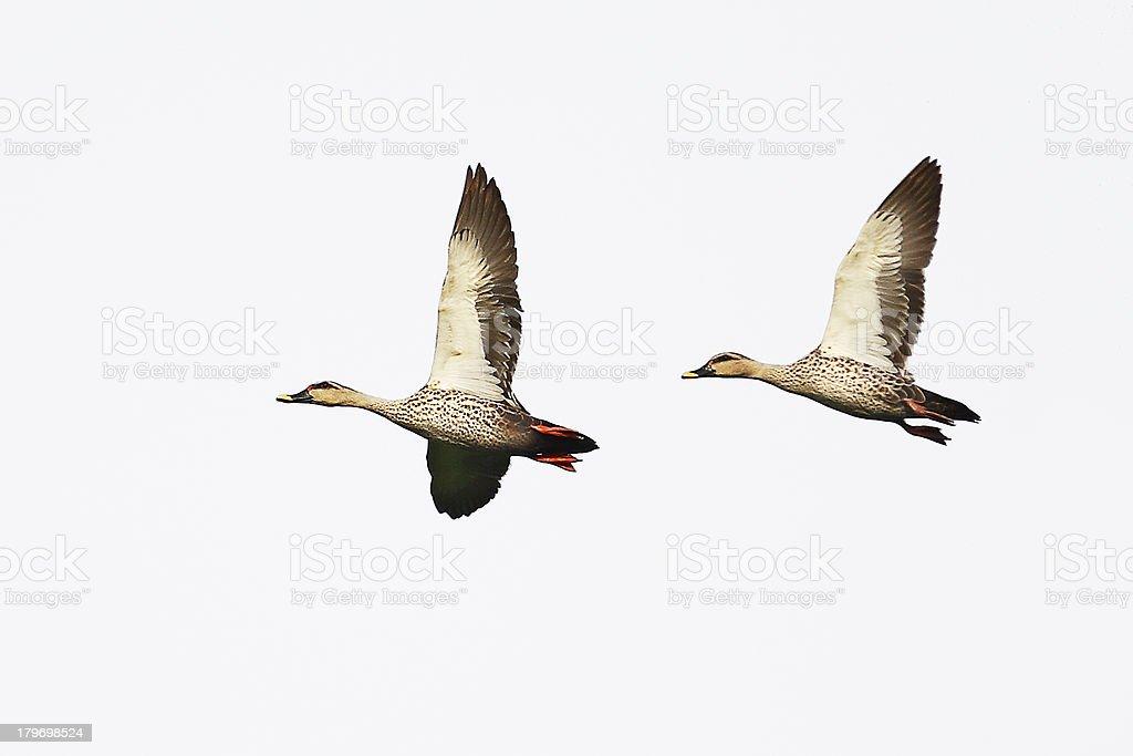 Birds of Nature, Spot Billed Ducks stock photo