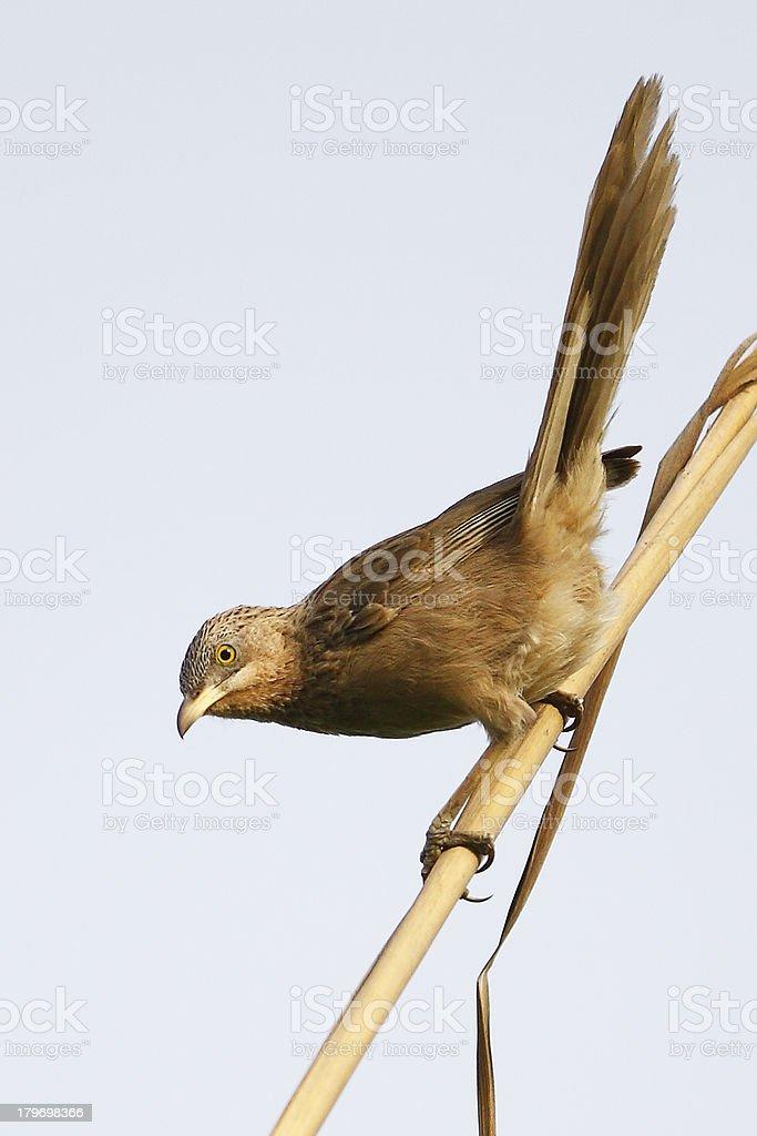 Birds of Nature, Striated Babbler stock photo