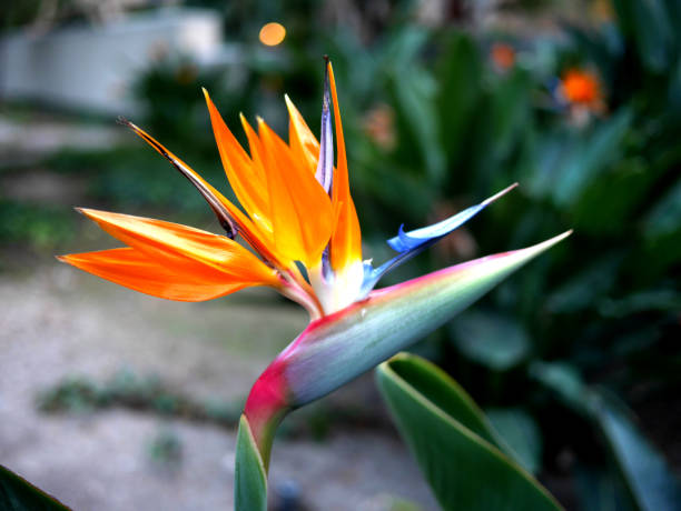 Birds of Paradise flower stock photo