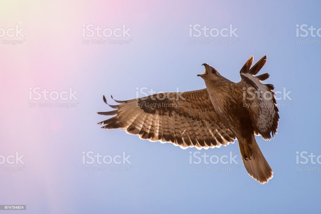 Birds of prey - Buizerd (Buteo buteo) tijdens de vlucht foto