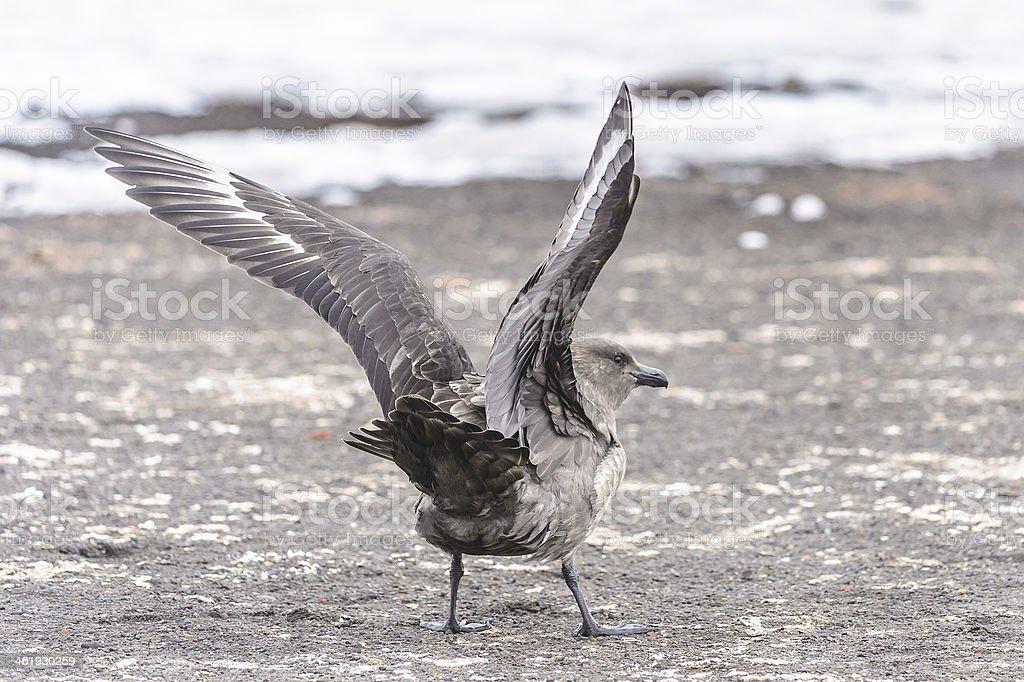 Birds of SouthPole royalty-free stock photo