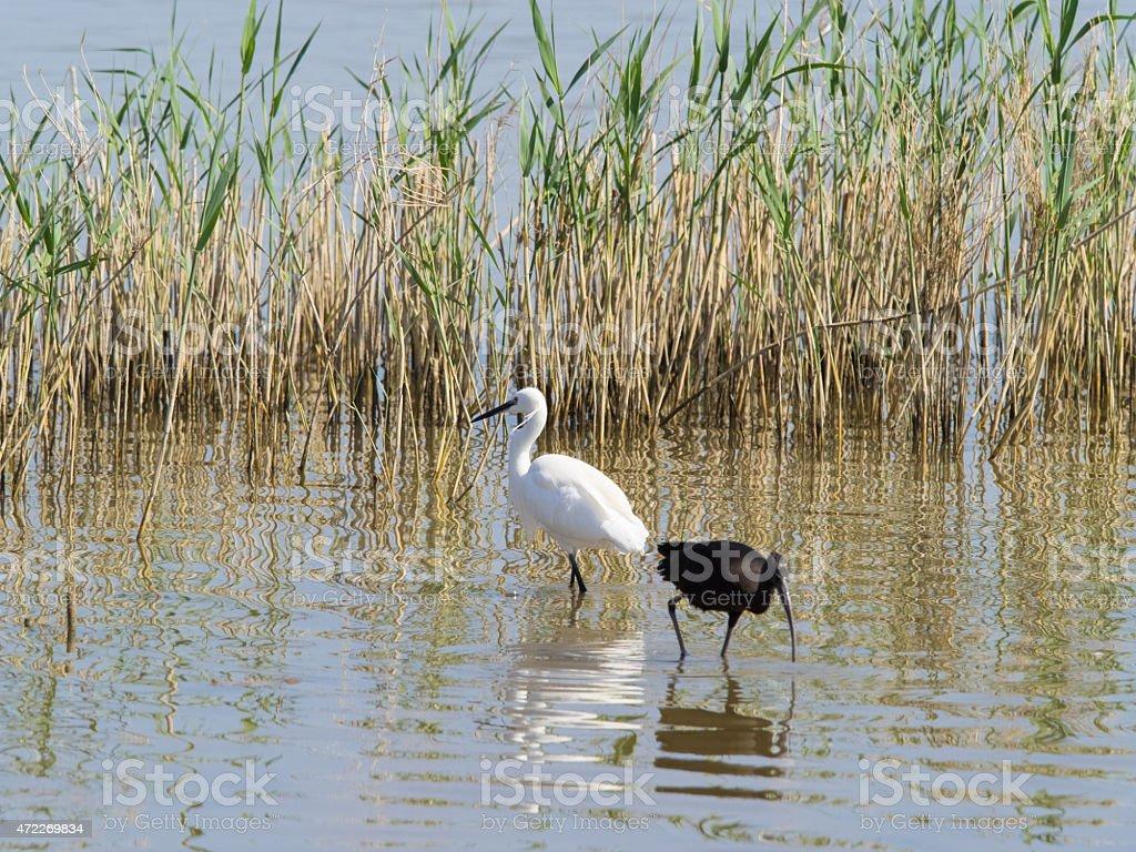 Birds of the Ebro Delta stock photo