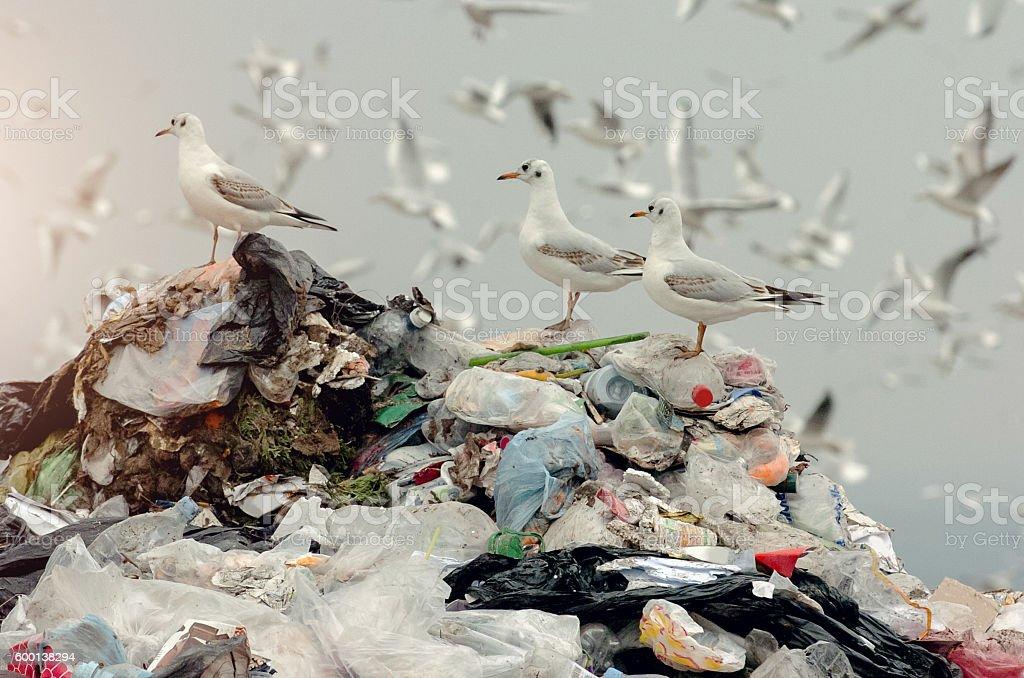 Birds on a landfill garbage stock photo