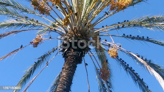 A snapshot of a large flock of birds perched atop the branches of a palm tree near my home town.