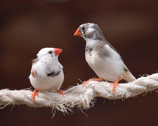 vögel auf einem seil - zebrafinken stock-fotos und bilder