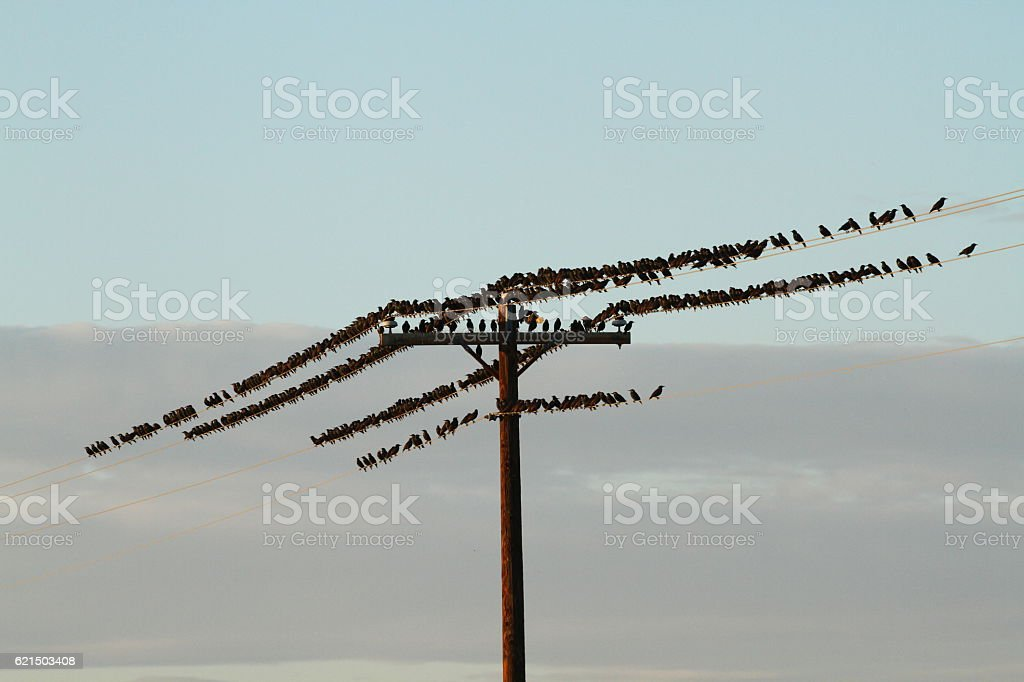 Birds on a Telegraph Pole foto stock royalty-free