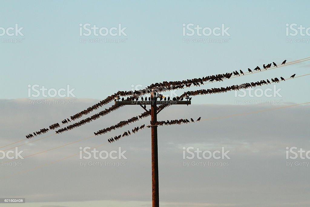 Birds on a Telegraph Pole photo libre de droits
