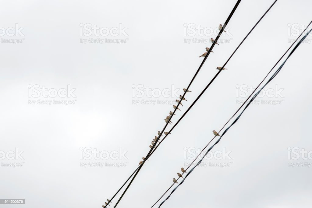 Group sparrows of sitting on wires
