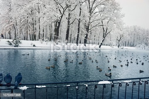 After a heavy snowfall, the fabulous beauty of the morning winter old park in Europe, Ukraine among the beautiful white oak trees is a lake with wild ducks, pigeons, gulls