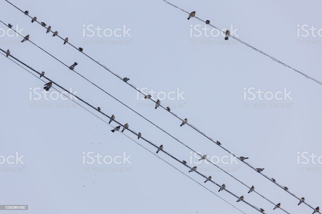 flock of birds on the wires in cold winter
