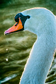 Mute Swan found in a wetland marsh located on Vancouver Island, British Columbia