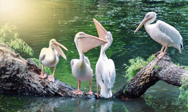 birds pelicans. positive birds talking. funny animals. - пеликан стоковые фото и изображения