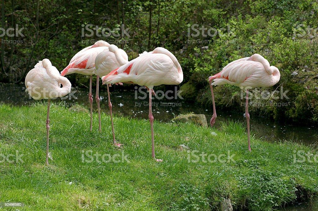 Birds ( Flamingos ) royalty-free stock photo
