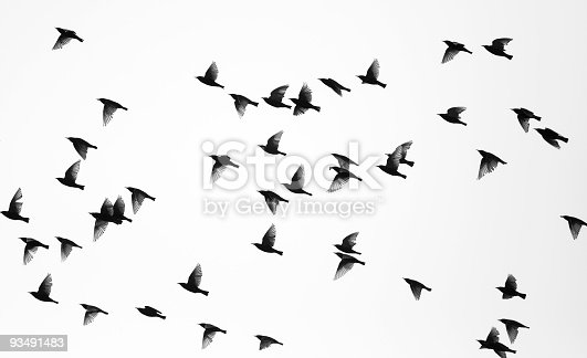 Flock of sparrows against white background. Many different wing positions in one shot.