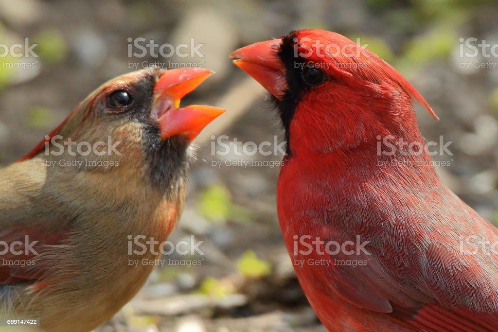 Birds: Red Cardinal stock photo