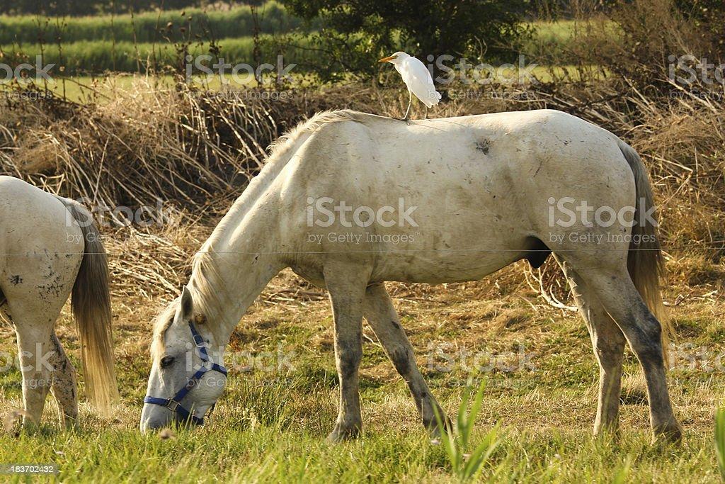 Birds riding a white horse royalty-free stock photo