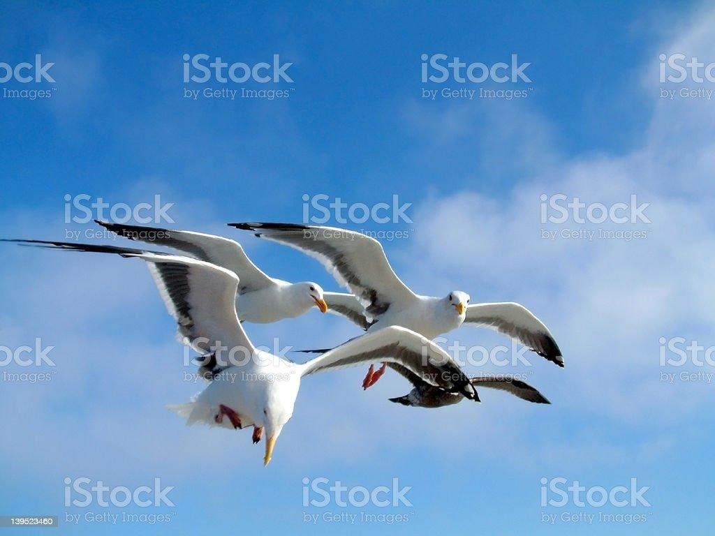 Birds - Sea Gulls royalty-free stock photo