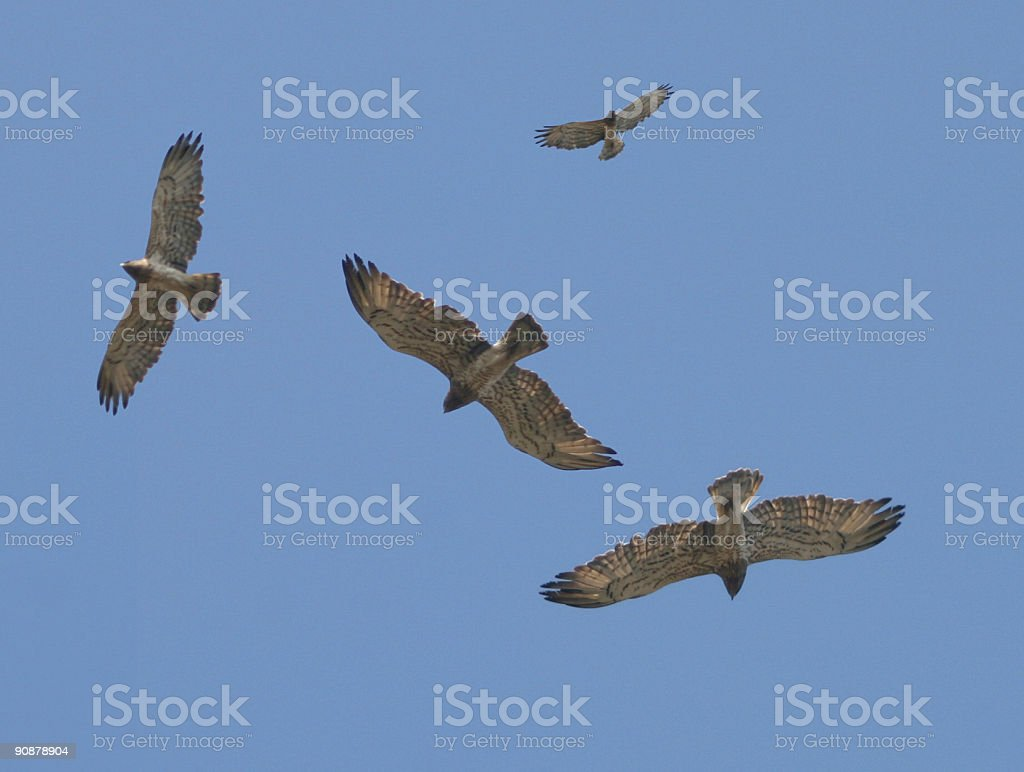 Birds Short-toed Eagles stock photo
