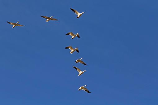 official photos 30ca1 7384d Vögel Schnee Gänse Im Formationsflug Stockfoto und mehr Bilder von  Anlegestelle