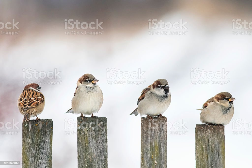 birds Sparrow sitting on an old wooden stock photo