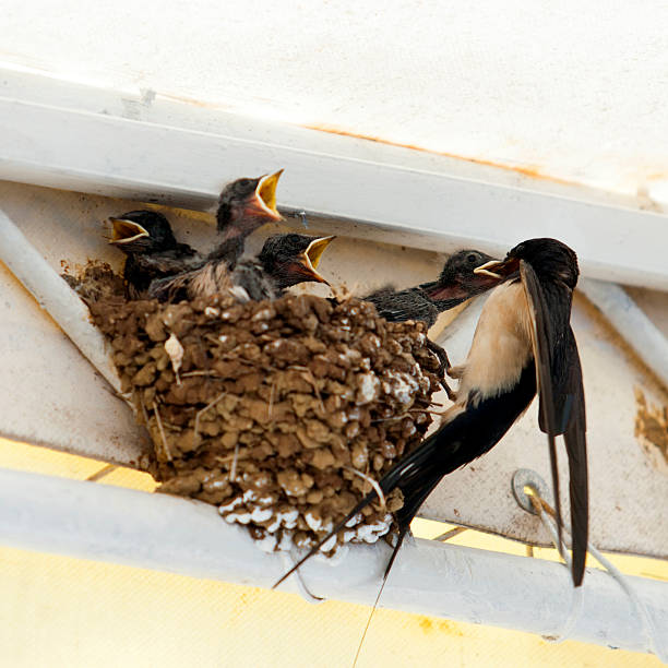 birds, swallow mom feeding young baby birds in urban area - rondine foto e immagini stock