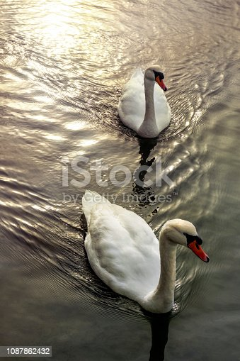 Two white long-necked swans with black-orange colored beak