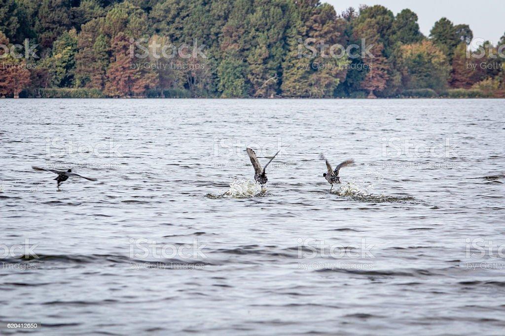 Birds Taking off on Reelfoot Lake stock photo