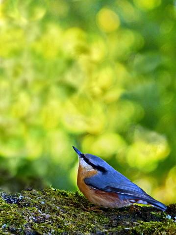 Birds - The Nuthatch - Sitta europaea…