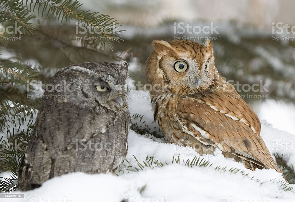 Bird-Screech owl royalty-free stock photo
