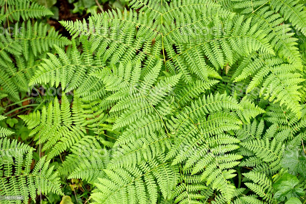 Birdseye view of fresh lady ferns sprouting in a forest stock photo