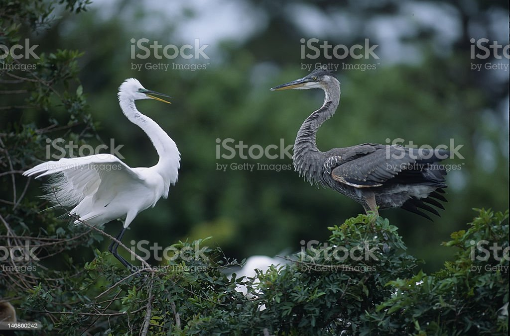 Birds-Great egret and blue heron royalty-free stock photo