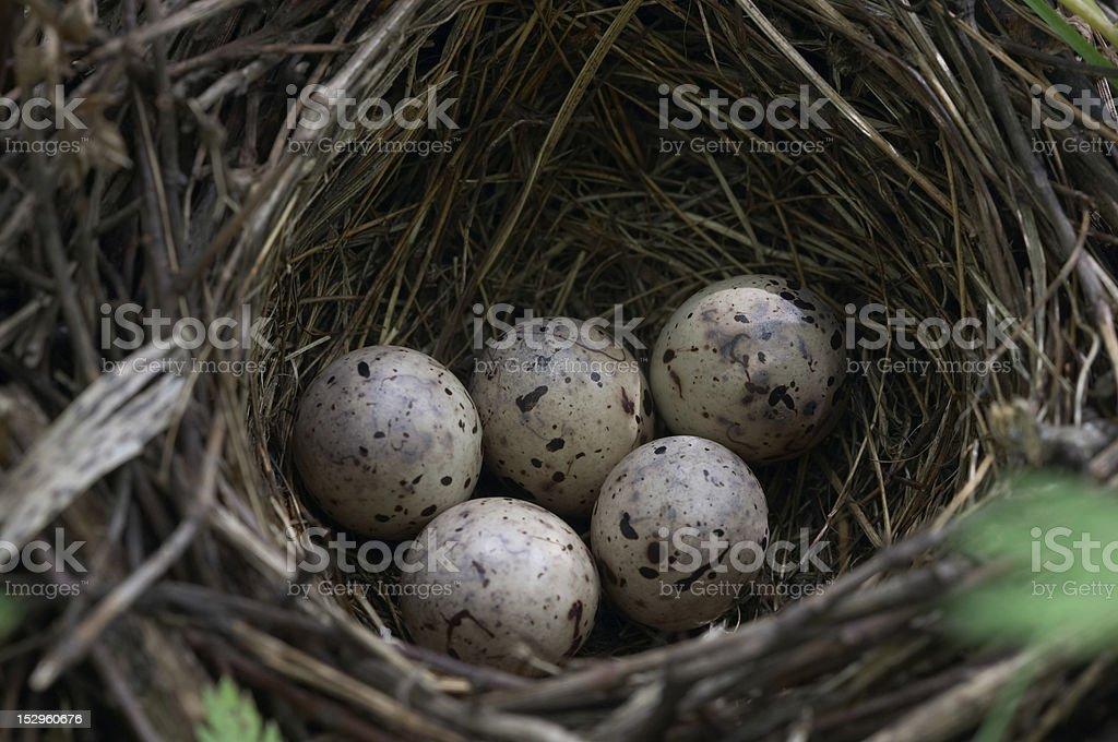 Bird's-nest - closeup of five quail eggs stock photo