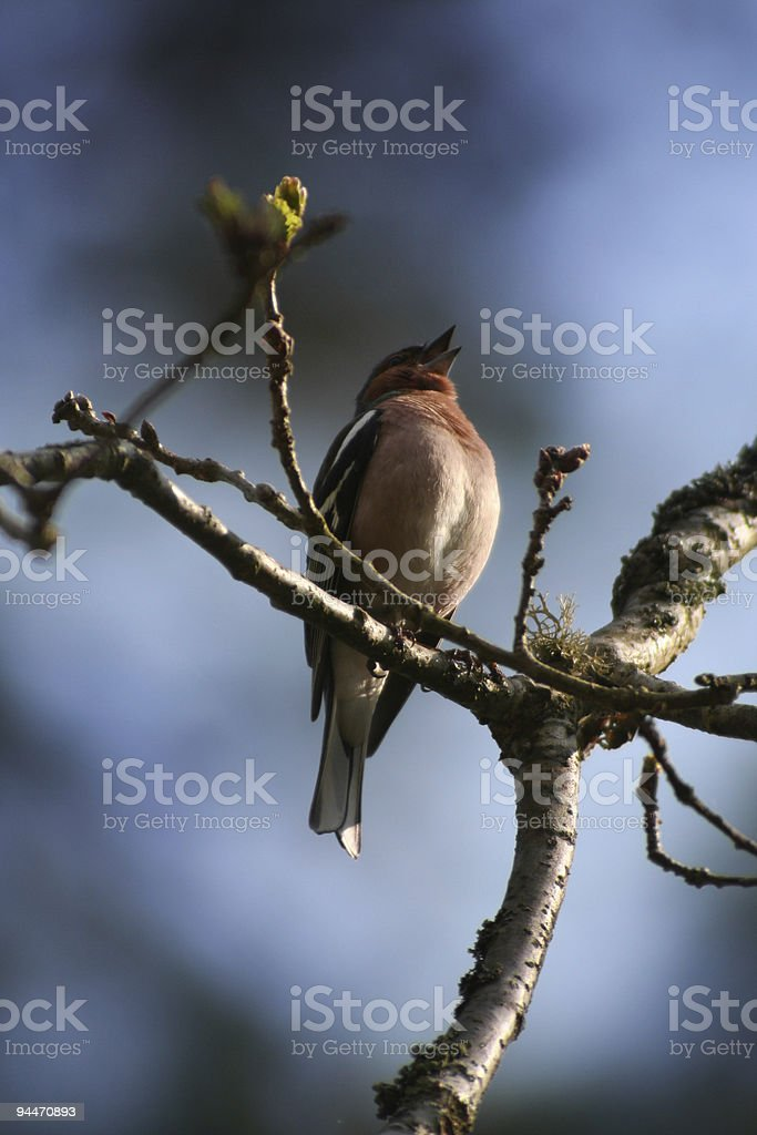 Birdsong royalty-free stock photo