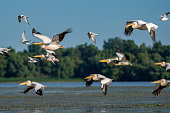 istock Birdwatching in the Danube Delta. Pelicans flying over Fortuna Lake near Mila 23 village 980114238