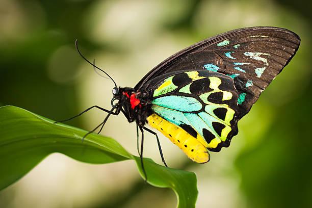 Birdwing butterfly picture id477239891?b=1&k=6&m=477239891&s=612x612&w=0&h=nfxjg0 tflmfaz6k ij6xdpro 5qzbs jpa8b tlf24=