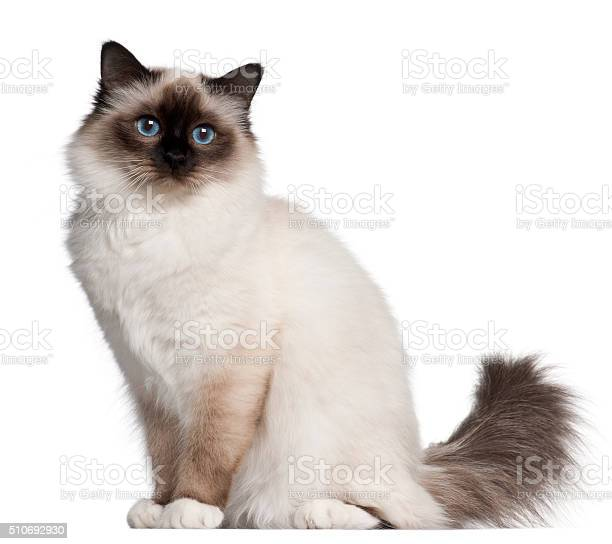 Birman cat 11 months old sitting picture id510692930?b=1&k=6&m=510692930&s=612x612&h=a2aodio3npxozmargkrcldvemlof1lzljy8srrbrc8q=