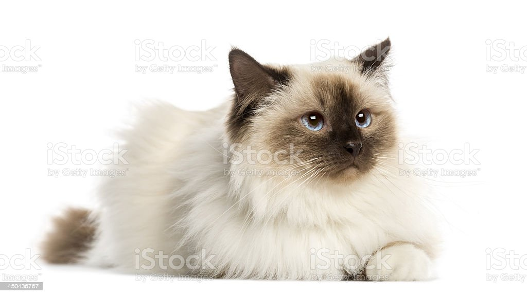 Birman cat, 3 years old, lying, isolated on white stock photo