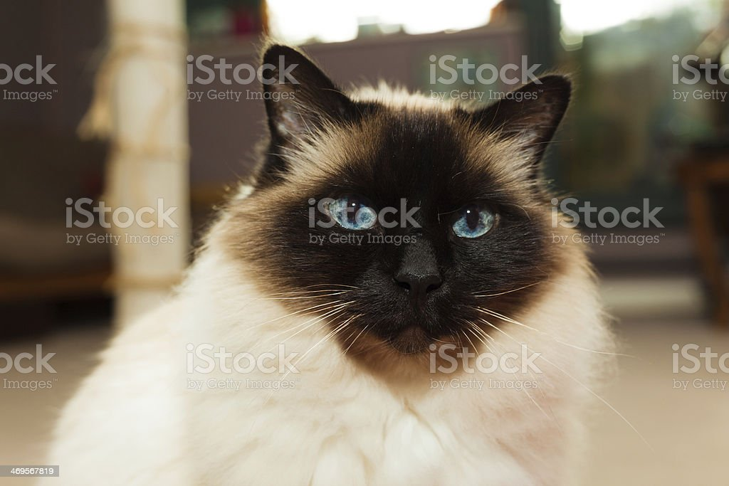 Birman cat at home stock photo