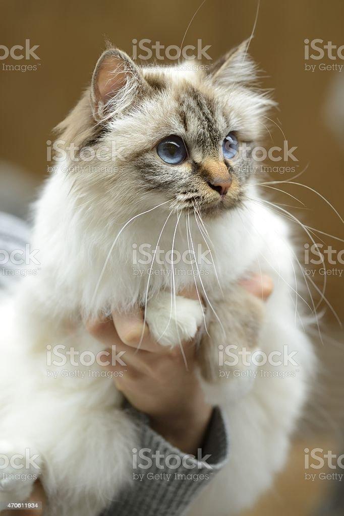 Birman cat being held at cat show stock photo