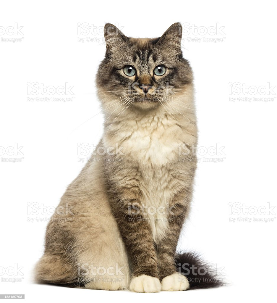 Birman cat sitting and looking at camera against white background stock photo