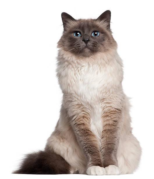 Birman cat sitting in front picture id168820138?b=1&k=6&m=168820138&s=612x612&w=0&h=u 5jkmwt0c  wvrrvbtltzrsae jp0boote0opfe3q8=