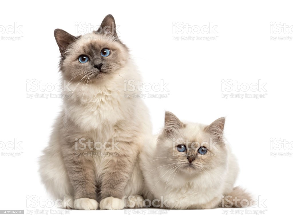 Birman cats looking at the camera, isolated on white stock photo